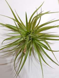 Stricta Hard Leaf (Airplants)