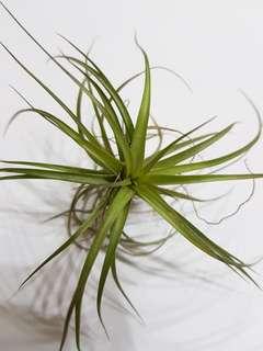 Gordon C (T. aeranthosXT. tenuifolia) (Airplants)