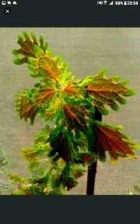 I have always loved coleus, and hope to spread this love and knowledge. I don't intend to sell them at exorbitant prices, (compare the others on this platform 😃). And yes, it's the biggest pot