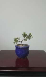 Small Mini Juniper Bonsai Plant