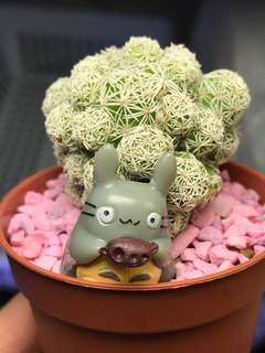 Cute Totoro cactus 🌵 On Sales!