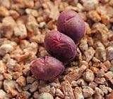 Rare succulent - Red Conophytum