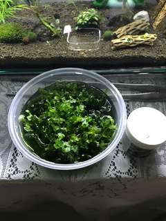 Subwassertang Moss (1 Tub)