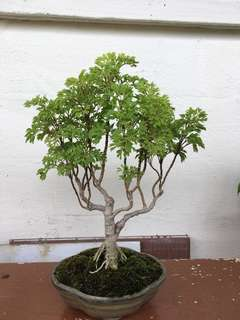 Bonsai Ming tree