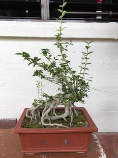 Bonsai water jasmine
