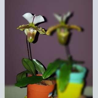 Orchids Paphiopedilum spicerianum Lady Slipper Orchid