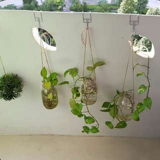 Money plant in a bottle