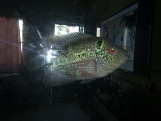 Flowerhorn Fish - Repriced