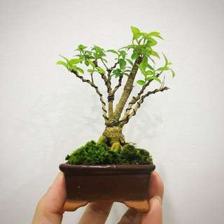 Mame Bonsai - Mini Cherry