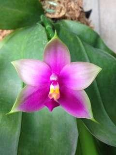 Phalaenopsis no id