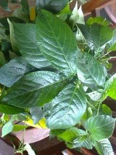 Black Face General - A wonder anti cancer herb