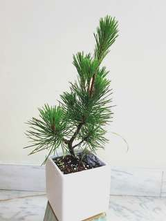 Mini black pine Bonsai
