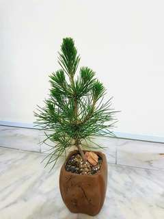 Mini black pine Bonsai