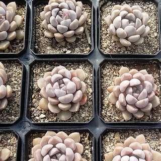 Echeveria Pebbles