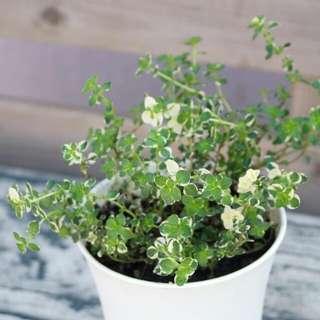 花葉百里香 有機香草盆栽 有香味 少見 23cm(H) OrganicThyme Foxley Herb Plant With Pot 觀賞/食用 連盆