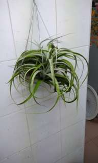 Air Plant xenographical king mother with 2 plups