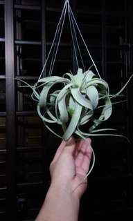 Air plant king of tillandsia