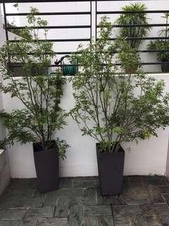 2 pots of jasmine plants