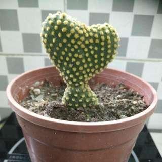 Bunny ears cactus 仙人掌 心形高約6cm. 横 7cm 仙人掌全高約 12cm 小花盤從底至掌頂約 20cm高 心形已成長約有八個月 不輕易變形 難得一見 生命力强 開紅色花朵