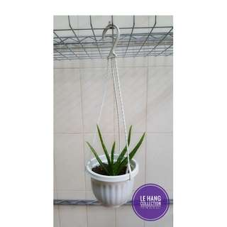 Aloe Vera [BUY 1 SET GET 1 FREE hanging pot ]