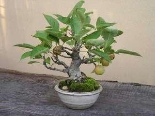 Gardening ♡ Japanese Loquat Fuit Tree Seeds X 5