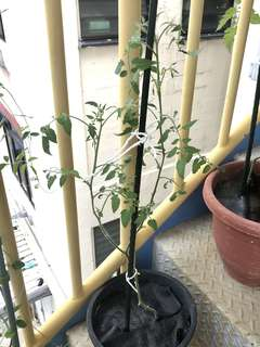 Easy to Flower Tomato plant (from stalk cutting)