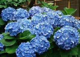Gardening ♡ Blue Hydrangea Flowering Seeds X 5