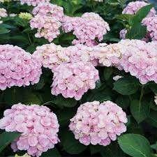 Gardening ♡ Pink Hydrangea Flowering Seeds X 5