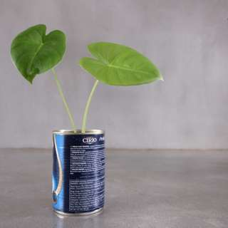 Baby Alocacia/ Yam Plant (6 inch tall) - grows up to 2m tall as shown in second image