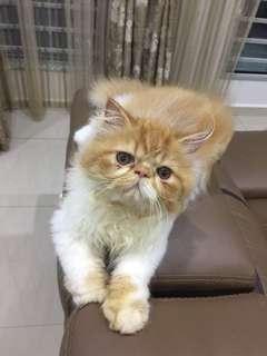 Persian Kittens kucing cat
