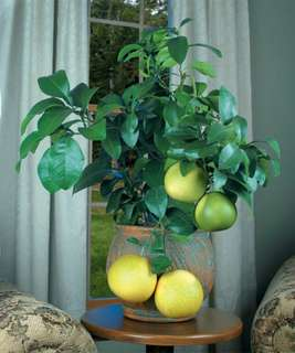 Gardening ♡ Pink Grapefruit Bonsai Seeds X 5