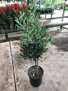 Olive plants from holland