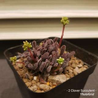 Rare Succulent - Crassula Pubescens