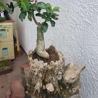 Desert rose in rabbit pot