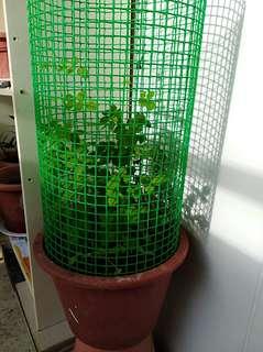 Healthy Butterfly pea flower with green net