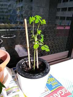 Mini Moringa Oleifera plant In Self Watering pot