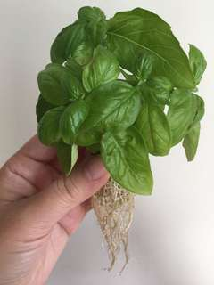 READY STOCK - Large Leaf Italian Basil Cuttings with Roots
