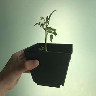Red cherry tomato plant