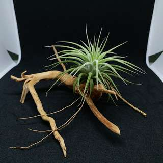Limited Offer: Air plant/ T. Ionantha Honduras on driftwood table deco