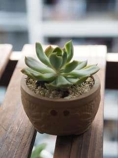Homegrown Succulent
