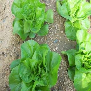 Gardening ♡ Italian Lettuce Seeds Pack