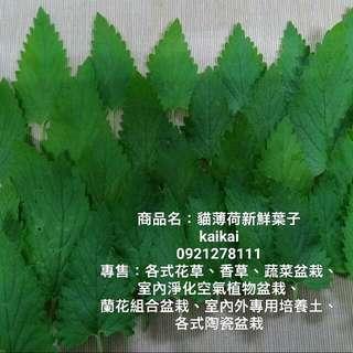 貓薄荷新鮮葉子/貓食/幫貓咪補充植物纖維,排出毛球,助腸胃消化
