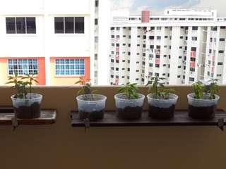 Organic chilli plant for sale
