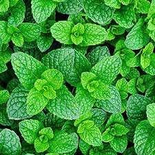 Gardening ♡ Mint Seeds X 25