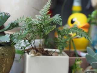 Homegrown fern
