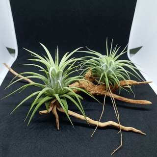 Limited Offer: Air plant/ T.Ionantha Honduras on driftwood table deco