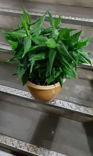 Lucky bamboo for sale
