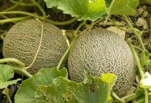 Gardening ♡ Sweet Melon Planting Seeds X 25