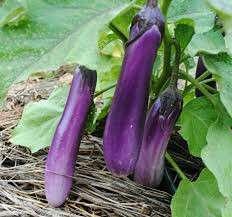 *Promo* Gardening ♡ Purple Eggplant Seeds For Planting X 30 Seeds