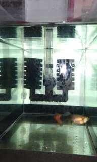 孔雀魚 仔魚